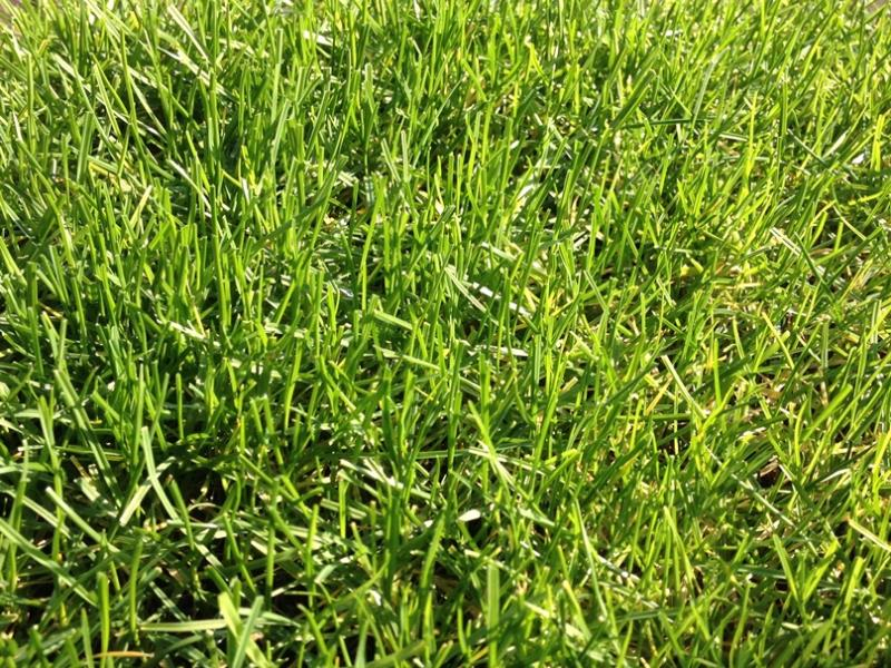 The hybrid turf PowerGrass with natural grass